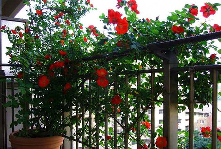 các loại cây leo tường dễ trồng cho nhà chung cư