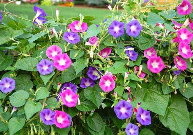 cây hoa bìm bìm tạo thêm màu sắc rực rỡ cho căn hộ