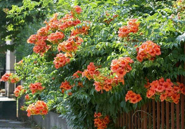 cây hoa đăng tiêu tô điểm cho hàng rào ngôi nhà