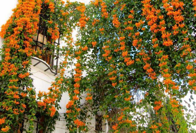 cây hoa leo trùm ớt rất thích hợp cho hàng rào nhà bạn