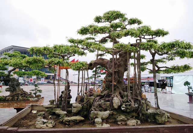 cây sung bonsai tạo thế đẹp