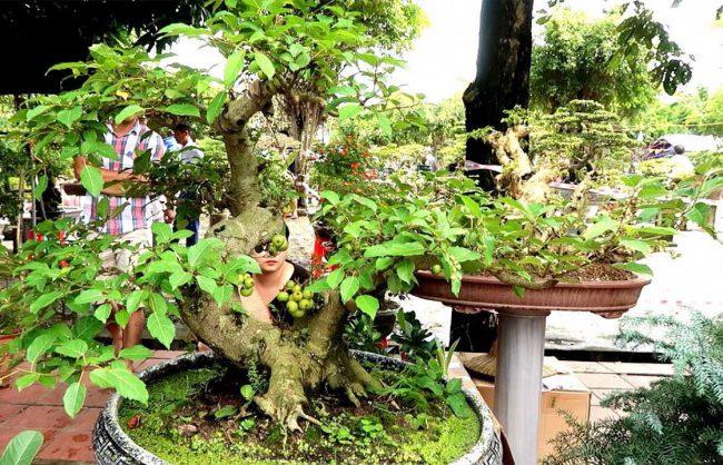 Có nên trồng cây sung trước nhà hay không