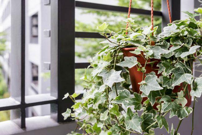 cây thường xuân là một trong các loại cây leo tường