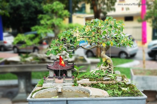cây sung bonsai tiểu cảnh