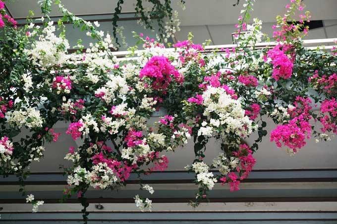 cây hoa giấy rất thích hợp trồng nơi ban công chung cư