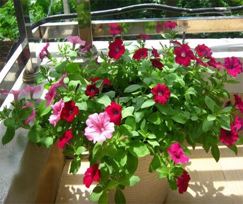 hoa dạ yến thảo trồng không cần ánh nắng