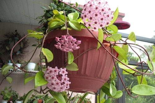 hoa lan cầm cù
