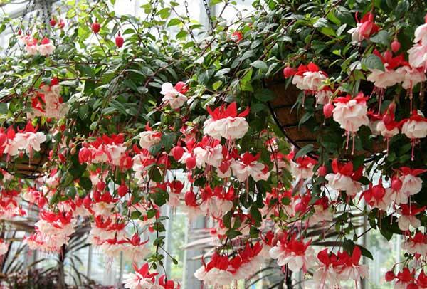 hoa lồng đèn là một trong các loại cây trồng không cần ánh sáng