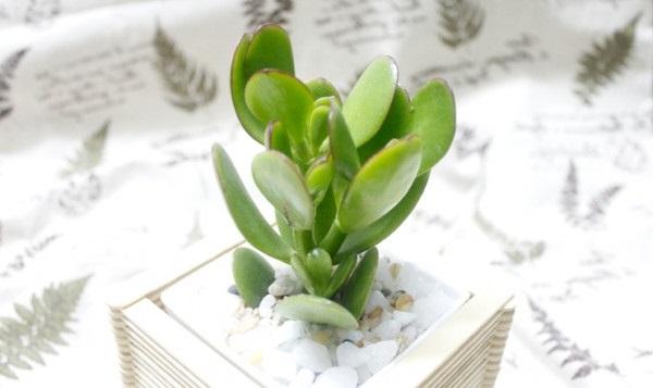 Sen Thạch Bích trồng trong nhà
